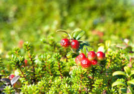 Common juniper (red) - fruit - 250g